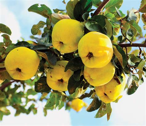 6 Unusual Fruits for Old-House Gardens - Restoration
