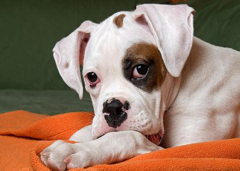 Boxer Dog Perfect HD Wallpapers 2013 ~ All About HD Wallpapers